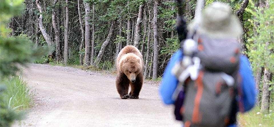 약세장 대응 스마트한 투자자의 투자 원칙은 등산 중에 곰을 만났을 때 원칙과 유사하다, A bear approaches a visitor along a road at Brooks Camp in Katmai National Park and Preserve, Alaska, Photo by NPS,  Jake Bortscheller bearsafety