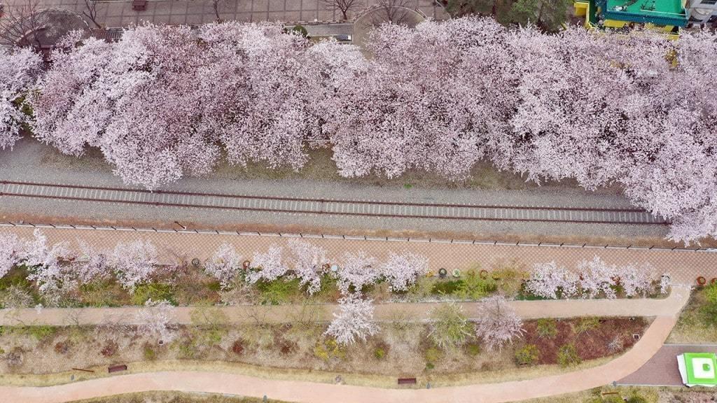 코로나19 풍경, 3월 29일 오후 경남 창원시 진해구 경화역 공원 일대로 여좌천 일대가 폐쇄되어 사람이 거의 보이지 않는다, Image from SBS